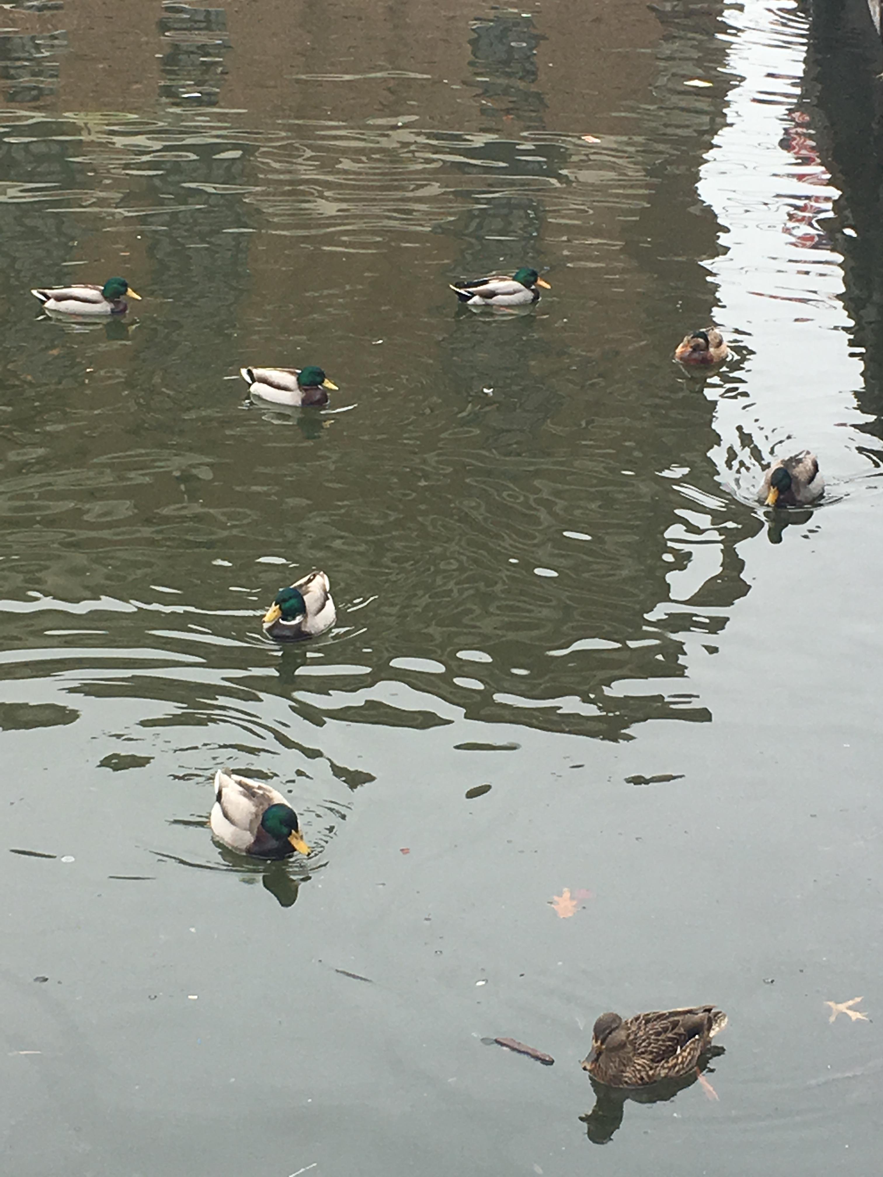 Baltimore, Maryland, ducks